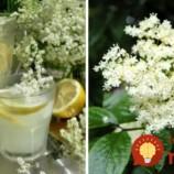 Biely zázrak z prírody: Vyrobte si domáci bazový sirup