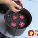 Jednoduchý tip, vďaka ktorému už paradajky nebudete musieť kupovať v obchode!