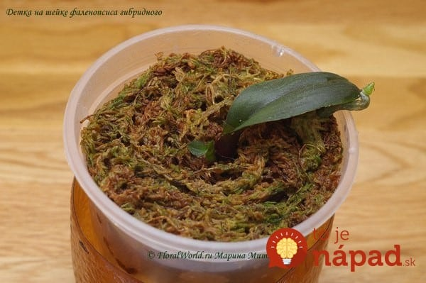 How-to-Propagate-Phalaenopsis-Orchid7