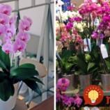 Ako si vybrať v obchode orchideu, ktorá vám bude kvitnúť celé roky?