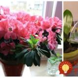 Ako znásobiť kvitnutie izbových rastlín? Vyskúšajte nevšednú metódu skúsených pestovateľov!