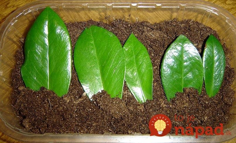 Как размножать долларовое дерево в домашних условиях пошагово