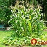 Prečo patria fazuľa, kukurica a tekvica v záhrade k sebe? Toto ste doteraz netušili!