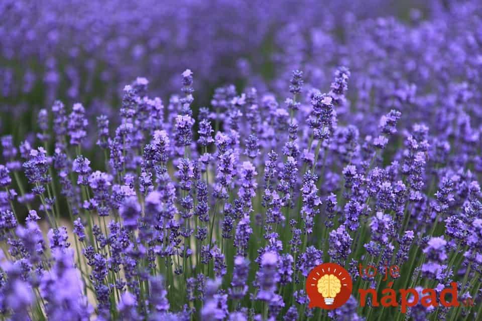 lavender-543728_960_720