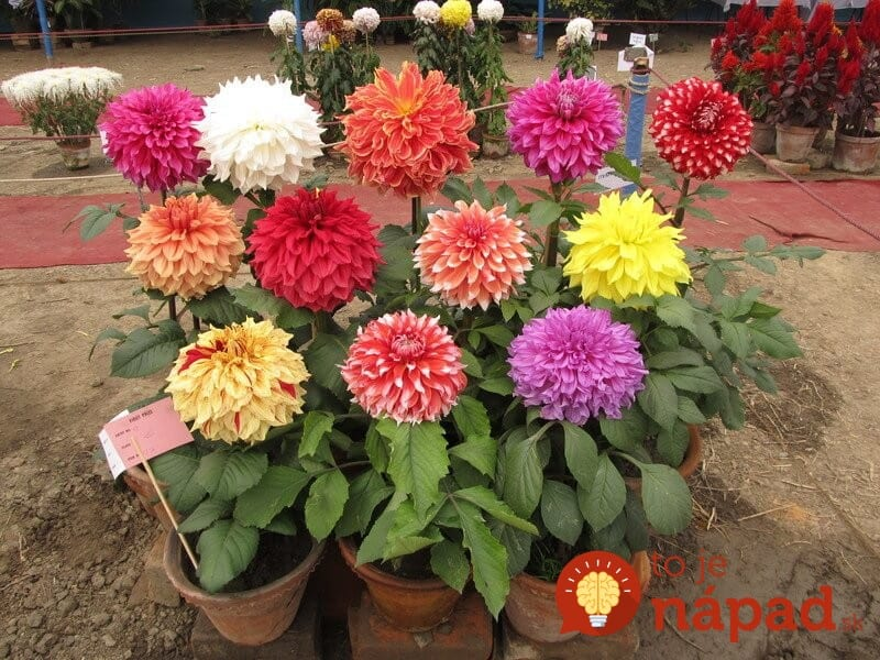 Dahlia-flower-Garden_800x1
