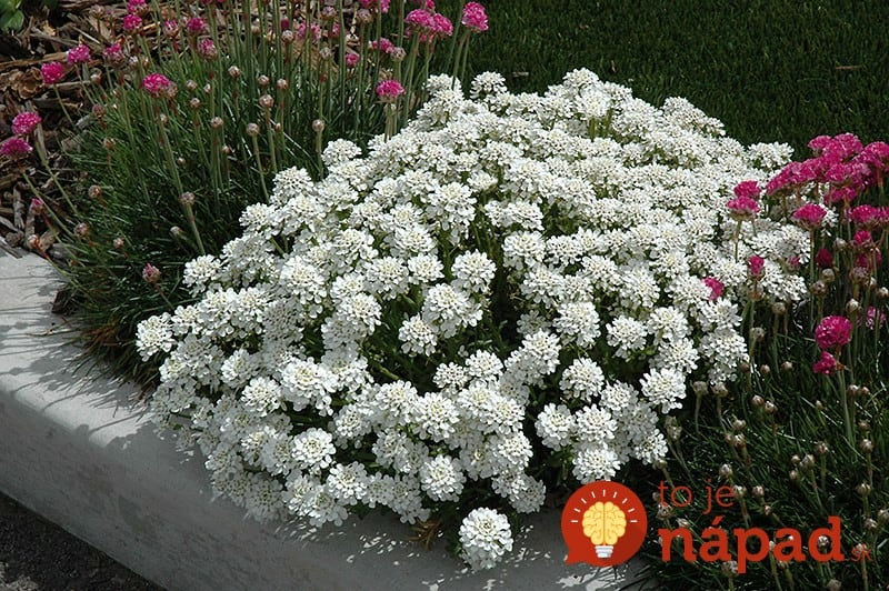 Evergreen-Candytuft