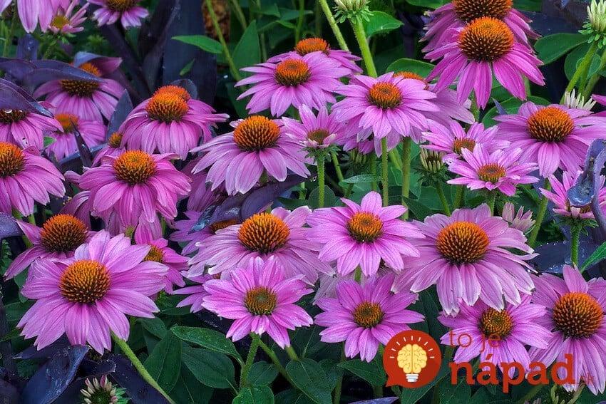 Purple-coneflower-in-garden1