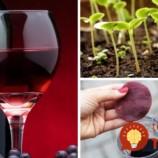 8 vecí, ktoré ste o víne netušili: Takto vám pomôže doma aj v záhrade!