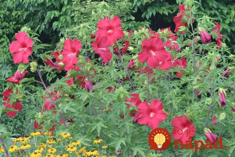 perennial-hibiscus-that-blooms-all-summer-long