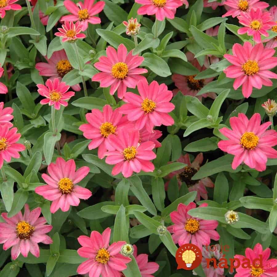 pofusion-sunrise-zinnia-blooms-early-to-late-summer