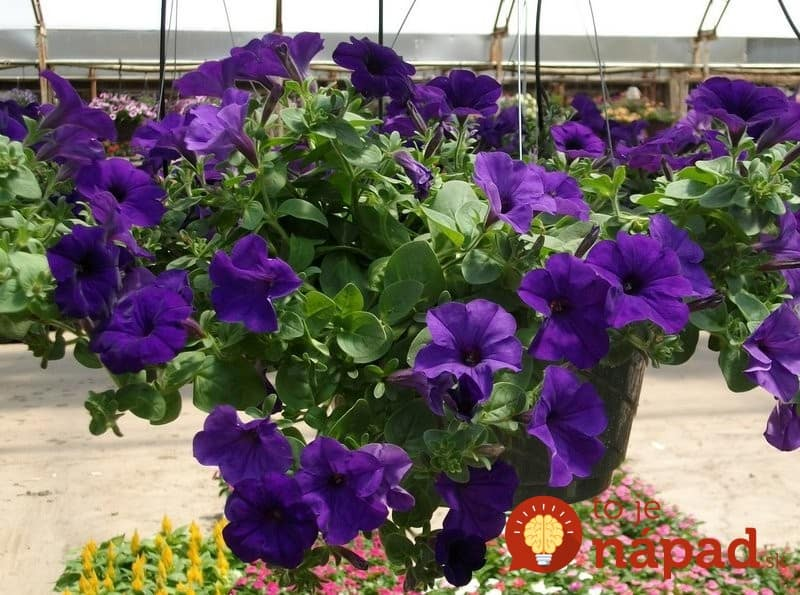 purple-wave-petunia-plant-that-blooms-all-summer-long