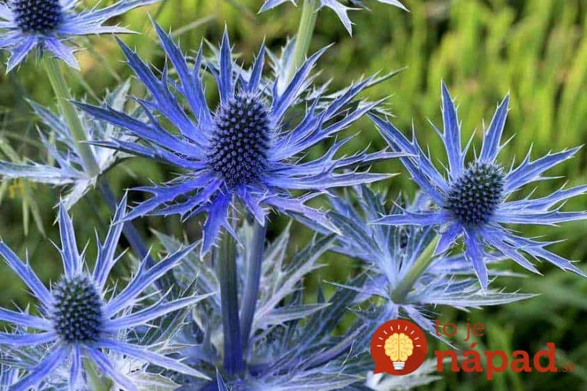 sea-holly-summer-time-plant