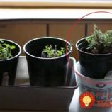 Najjednoduchší spôsob, ako rozmnožiť rozmarín + dôvody, prečo je táto bylinka cennejšia ako zlato!