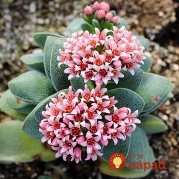 crassula-morgans-pink-blooms__92733-1406313628-555-555