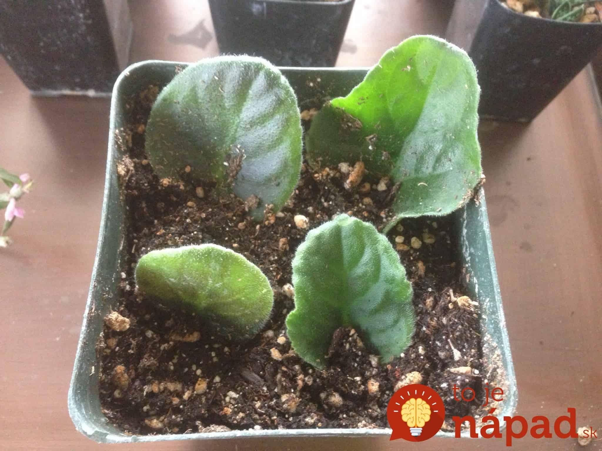 Как вырастить фиалку узумбарскую (сенполию ) из листочка в домашних условиях 51