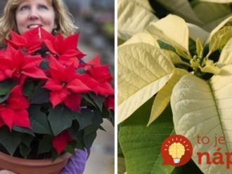 Ako prinútiť vianočnú ružu, aby sa začervenala? Nezvyčajný trik funguje perfektne!