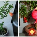 Jednoduchý návod, ako si vypestovať granátové jablká na okennom parapete!