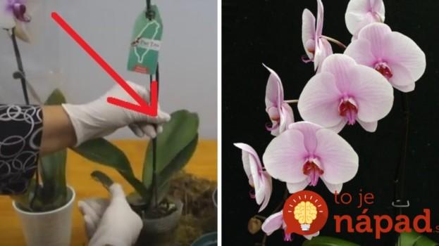 Ako zabrániť tomu, aby orchidea z obchodu rýchlo odkvitla a uhynula? 4 jednoduché kroky, ktoré musíte poznať!