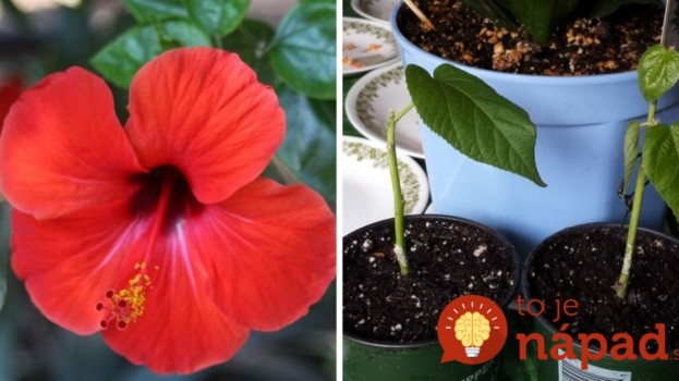 Pestujete doma čínsku ružu? Vďaka týmto radám zachováte jej krásu na celé roky!