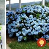 Hortenzie môžu byť tento rok najkrajšou ozdobou záhrady: Toto musíte urobiť, aby priniesli záplavu kvetov!