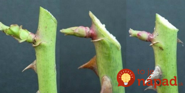 Prichádza čas na jarný rez ruží: Keď to urobíte takto, vaše ruže nebudú mať páru!
