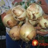 Babičkina rada, ako vypestovať väčšiu a bohatšiu úrodu cibule