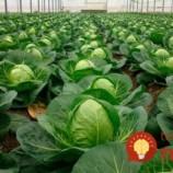 Skôr, ako zasadíte kapustu, vložte do pôdy TOTO: Bohatá úroda vás neminie