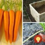 Na záhrade dopestoval obrovskú mrkvu: Prezradí vám, ako na to len v 4 krokoch!