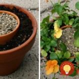 Do väčšieho črepníka vložila menší črepník a pôdu. Okrem krásnych kvetov má teraz aj úžasnú dekoráciu na jarný balkón či terasu!