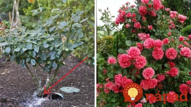 Chcete tie najkrajšie ruže v okolí? Pestovateľka odporúča úžasne jednoduchý tip, podľa nej funguje ako malý zázrak!