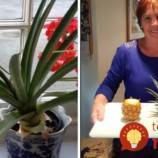 Babička dokázala vypestovať ananás na parapete. Tvrdí, že to dokáže každý, treba iba poznať TOTO tajomstvo