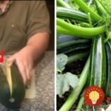 Vypestujte si rekordnú úrodu šťavnatej cukety zo semien: Budete prekvapení, aké je to jednoduché!
