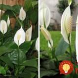 Túto rastlinu by vraj mala mať v dome každý žena: Nerobte túto častú chybu a vydrží vám krásna celé roky!