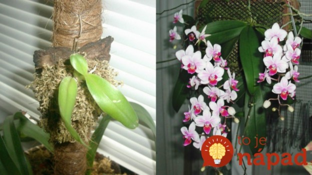 Orchidea jej chradla pred očami: Pestovateľ poradil tejto žene jednoduchý trik, ako ju zachrániť a získať krásnu ozdobu na balkón!