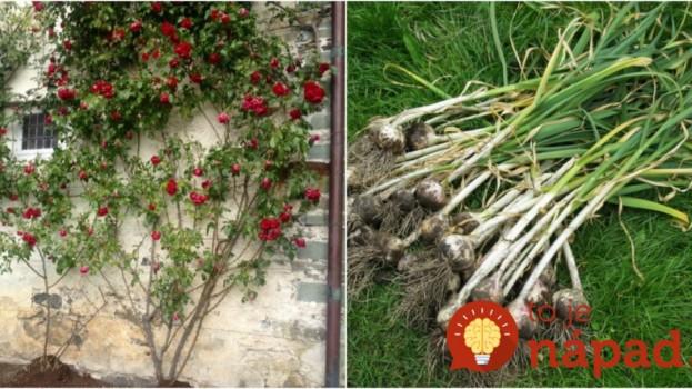 Toto je dôvod, pre ktorý by mal každý pestovateľ vysadiť cesnak hneď vedľa ruží!