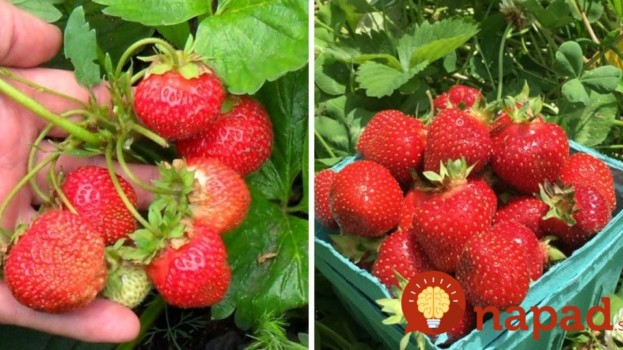 2v1: Toto domáce hnojivo ochráni jahody pred škodcami a zabezpečí vám bohatú úrodu!
