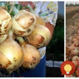 Východná metóda pestovania cibule: 4 kroky, ktoré dostanú vašu úrodu na úplne iný level – väčšia a zdravšia cibuľa!