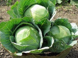 Vašej kapusty sa škodcovia budú vyhýbať: Recept, vďaka ktorému sa už nemusíte báť o svoju úrodu!