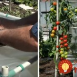 Ako vypestovať 32 kg paradajok zo štyroch rastlín? Jednoduchú metódu môžete vyskúšať hneď!