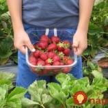 JAHODOVÁ MAPA: Na týchto miestach si môžete vlastnoručne nazbierať čerstvé jahody namiesto tých z obchodu