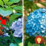 Urobte v júli toto s vašimi hortenziami a o rok sa budete pýšiť najbohatšími kvetmi v okolí