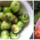 Zdravé, červené a sladké: Prekvapivo jednoduchý spôsob, ako ochrániť rajčiny pred plesňou a zvýšiť úrodu!
