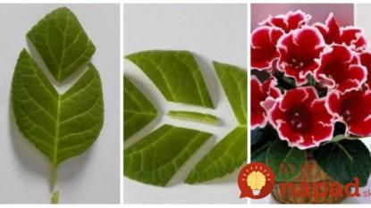 Z jedného listu môžete mať aj 10 nových rastlín: Najjednoduchší spôsob, ako rozmnožiť krásne Gloxínie!