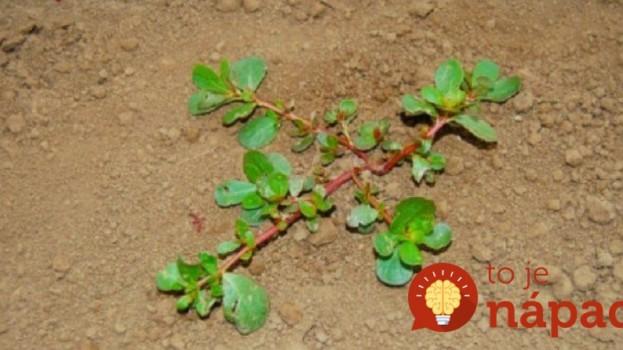 Ak hubíte burinu na chodníku alebo v záhrade, dobre si všimnite, či na pozemku nemáte aj túto rastlinu: Pod nohami vám rastie veľká vzácnosť!