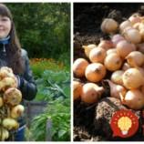 Vysaďte cibuľu na jeseň, nebudete ľutovať: Rada, ako získať extra veľké a chutné plody!