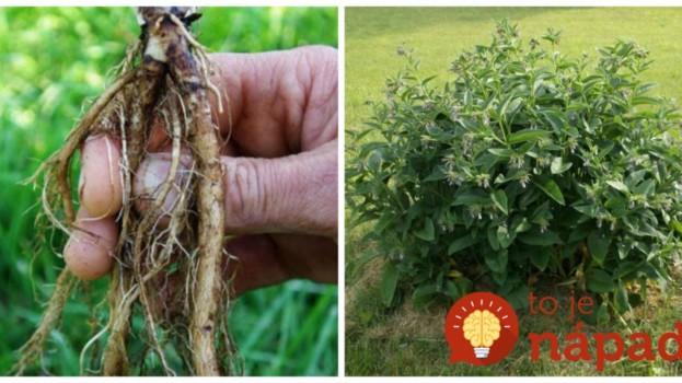 Zasaďte ju raz a bude vám pomáhať roky: Táto rastlina je zázrakom na reumu, kostné výrastky aj paradentózu, úľava príde už o 3 dni!