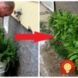 Trik záhradkára, ako získať úžasne bujnú a zelenú papraď: Doprajte jej tento špeciálny kúpeľ a sledujte, ako sa zmení!