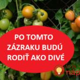 Môžete z nich mať omnoho viac: Dajte vaším paradajkám toto a budú obsypané plodmi až do konca leta!