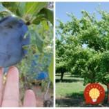 Rodili vaše slivky tento rok menej? Stihnite ešte v auguste toto, strom bude silnejší a o rok zarodí väčšie ovocie!
