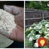 Tušili ste, že tento prášok dokáže zmeniť vašu záhradu? Stačí len nasypať a začnú sa diať tieto veci!